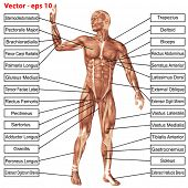foto of muscle builder  - Vector eps concept or conceptual 3D human anatomy and muscle isolated on white background as a metaphor to body - JPG