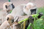 foto of hanuman  - Northern Plains Gray Langur monkeys  - JPG
