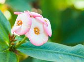 stock photo of poi  - Close up Red Poi Sian flowers blooming in garden - JPG