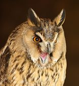 stock photo of screech-owl  - Portrait of a Long Eared Owl screeching - JPG
