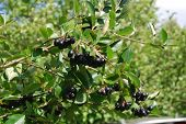 stock photo of chokeberry  - A branch of the ripe berries of a chokeberry - JPG