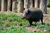 picture of pig-breeding  - Wild boar or wild pig  - JPG