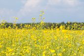 pic of rape-seed  - rape seed field with farm house and sky - JPG