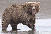 pic of grizzly bear  - A coastal brown bear in Lake Clarke National Park Alaska - JPG