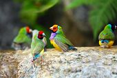 image of bird paradise  - Gouldian Finch Colorful Birds Taking a Bath - JPG