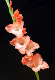 picture of gladiola  - Single orange gladiola on a black background in vertical format - JPG