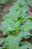 picture of tobacco barn  - Tobacco plantation green leaf tobacco in field - JPG