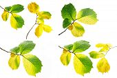 stock photo of alder-tree  - Collage alder autumn leaves on a white background - JPG