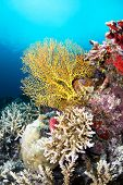 Image of a beautiful yellow sea fan on a reef covered with sponges and hard corals, shot in Fiji.