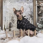Dressed-up Chinese crested dog in a winter scenery, 3 months old