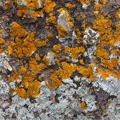 stock photo of lichenes  - stone covered with different types of lichen natural background - JPG