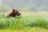 stock photo of omnivore  - Grizzly Bear sitting in high grass overlooking the environment - JPG