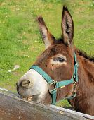 stock photo of nibbling  - brown donkey nibbling on the wooden fence - JPG