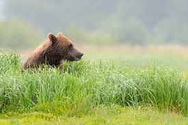 stock photo of grizzly bear  - Grizzly Bear sitting in high grass overlooking the environment - JPG