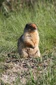 picture of gopher  - Gopher enjoying the warm summer sun outside its home - JPG
