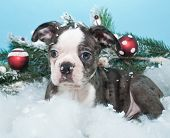 picture of christmas puppy  - Cute little puppy laying in the snow with Christmas ornaments around her - JPG