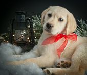 pic of christmas puppy  - Sweet Lab puppy laying in snow with a lantern and Christmas lights around him - JPG