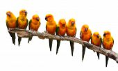 pic of sun perch  - Nine of Sun Conure Parrot bird perching on a branch on white background - JPG