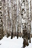 picture of birching  - bare tree trunks in birch grove in snow winter - JPG