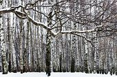 pic of birchwood  - snow covered branch and birch forest in winter - JPG