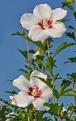 image of rose sharon  - early morning rose of sharon against blue sky - JPG