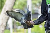 stock photo of pigeon  - Pigeons and doves exhibit considerable variations in size - JPG