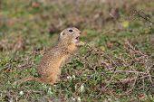 foto of prairie  - prairie dog in the grass - JPG