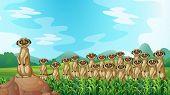 stock photo of meerkats  - Group of meerkats standing in the field - JPG