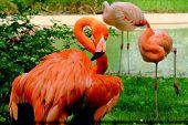 stock photo of flamingo  - A flamingo preening after a long nap - JPG