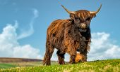 picture of highland-cattle  - HIghland cattle grazing in a North Yorkshire field - JPG
