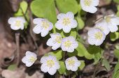 image of sorrel  - Wood Sorrel  - JPG