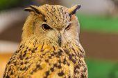 foto of eagle  - European Eagle owl or Eurasian eagle owl watching closeup - JPG