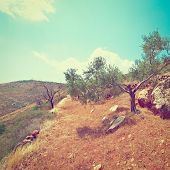 image of samaria  - Olive Grove on the Slopes of the Mountains of Samaria Retro Effect - JPG