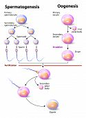 stock photo of sperm cell  - Spermatogenesis and Oogenesis - JPG