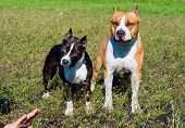 foto of american staffordshire terrier  - The American Staffordshire Terriers are on the grass - JPG