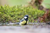 image of tit  - Great tit taking bath in lake - JPG