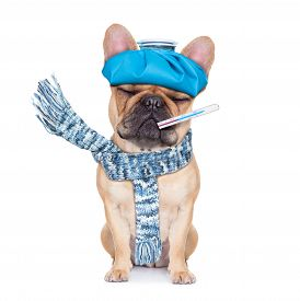 picture of high fever  - french bulldog dog with headache and hangover with ice bag or ice pack on headthermometer in mouth with high fever eyes closed suffering isolated on white background - JPG