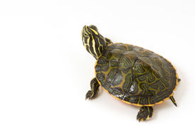 stock photo of cooter  - Photograph of a baby turtle isolated on a white background - JPG