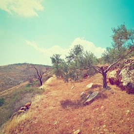 stock photo of samaria  - Olive Grove on the Slopes of the Mountains of Samaria Retro Effect - JPG