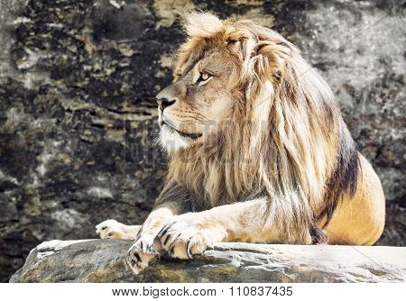 Barbary Lion Portrait panthera Leo