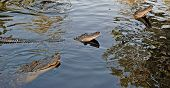 foto of bayou  - These alligators are found in a bayou Southeast of New Orleans - JPG