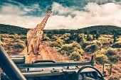 Wildlife african safari, beautiful wild giraffe, great animal in natural habitat, summer vacation in poster