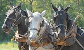 stock photo of horse plowing  - close up of a trio of Amish farm horses resting from plowing a field  - JPG