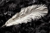 pic of ostrich plumage  - white ostrich feather on black - JPG