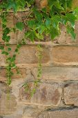 Hedera Helix, Common Ivy, English Ivy, European Ivy Evergreen Foliage On Old Brick House Wall, Verti poster