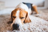 Dog Beagle Breed At The Age Of 4 Years Old, The Male Sleeps On The Floor With Head On Carpet poster