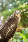 Red-tailed Hawk (buteo Jamaicensis)  Portrait Sitting On A Stick poster