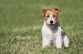 Obedient Happy Jack Russell Terrier Pet Dog Puppy Sitting In The Grass poster