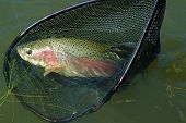 Rainbow Trout In Net
