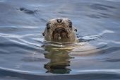 Sea Lion Emerges From Ocean With Face And Whiskers Above Water In Monterey, California. poster